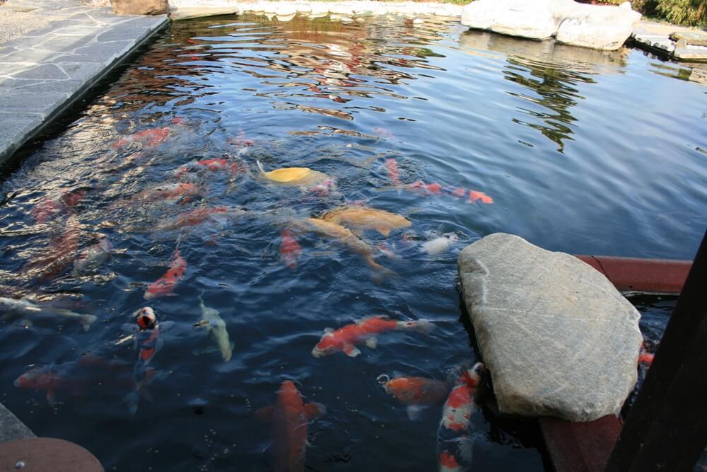 aellig paysages piscines naturelles koi poissons exterieur jura bernois camionettes vertes vert flash pet paysagiste (10)